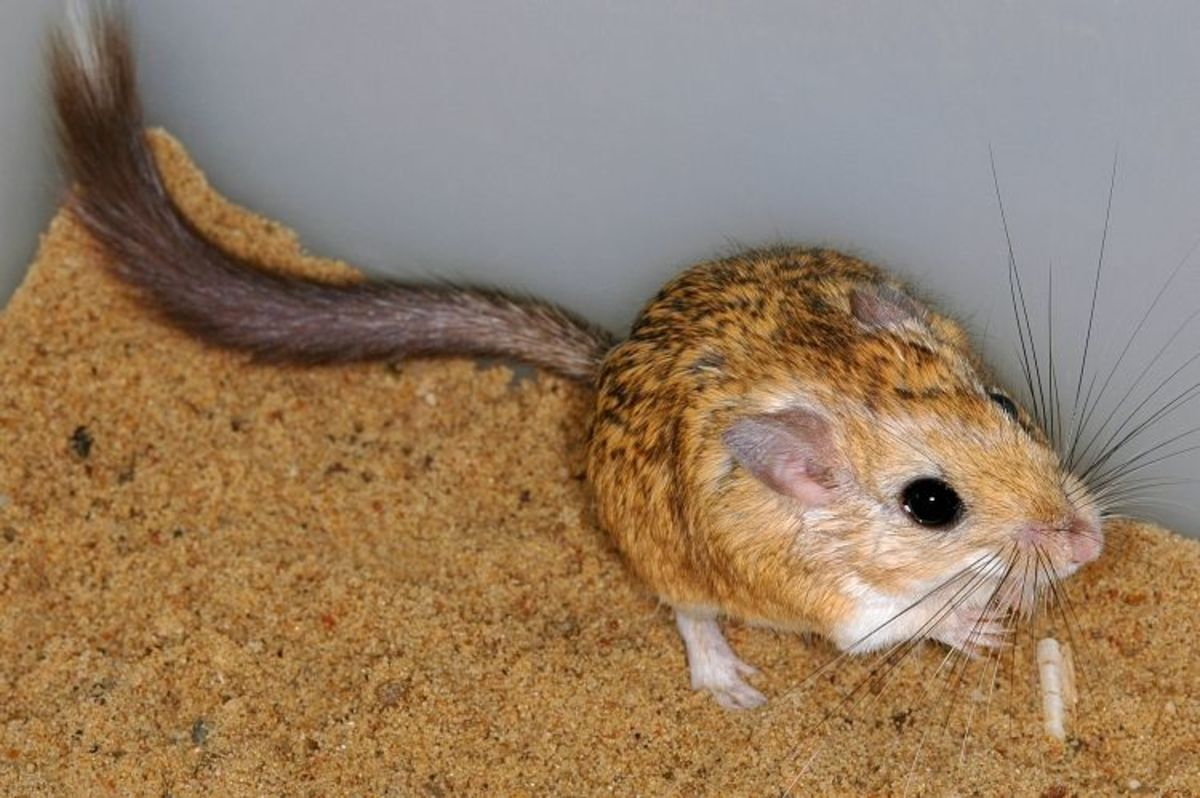 Jirds are an exotic alternative to gerbils. They are almost odorless, soft-furred, and gentle. They are great for the more advanced rodent hobbyist.