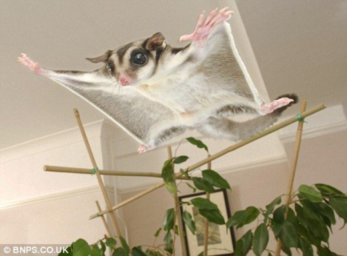 Sugar gliders are cute but they take a lot of specialized care - starting with their diet which should consist mostly of fresh fruits and other human grade foods.