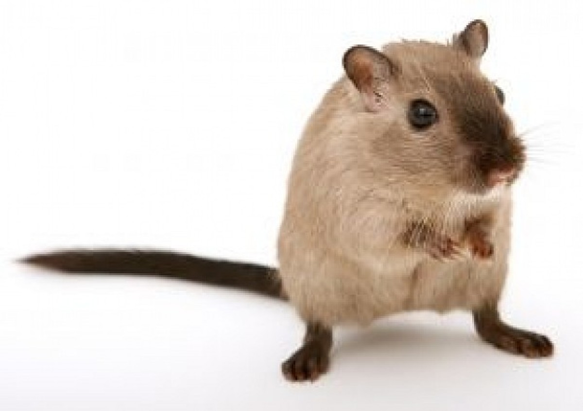 Gerbils are usually a gentle and relatively odorless rodent that make great beginner pets. They come in all sorts of colors and patterns. This one is a Burmese.