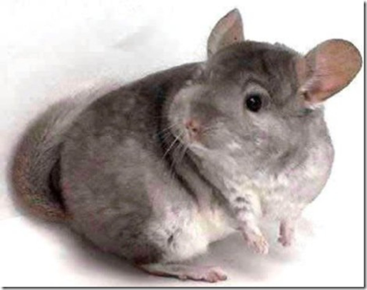 Chinchillas were first brought into captivity by ranchers who wanted them for their soft pelts. Today they're more often seen as pets.