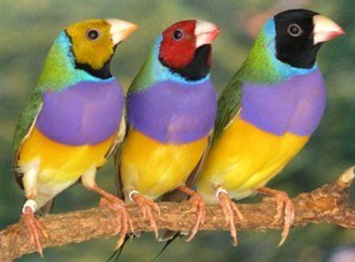 These Lady Gouldian Finches come in all sorts of color mutations and can sing pretty well too. They are popular amongst hobbyists and are a delight to watch in a large flight cage.