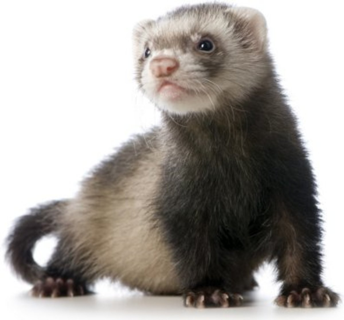 Ferrets were originally bred to hunt down vermin on farms and their services could be rented by traveling ferret wranglers who'd release them into the area for the day. Today ferrets are usually neutered, descented, and kept indoors as pets.