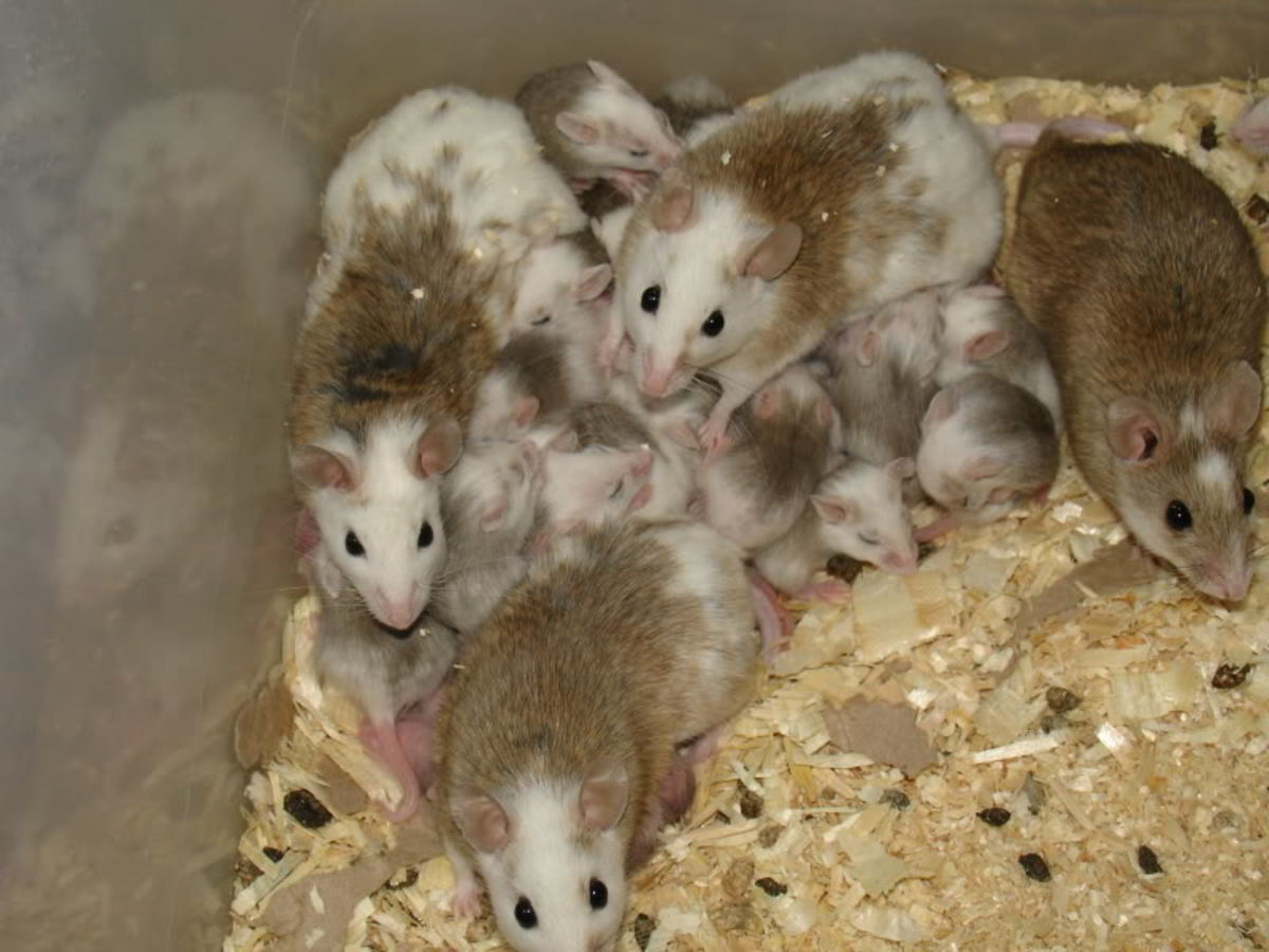 "Natal Rats, also called ""African Soft-Furred Rats"" are gaining in popularity as pets - but be warned they thrive in groups of four or more. Any less and they tend to get lonely and die."