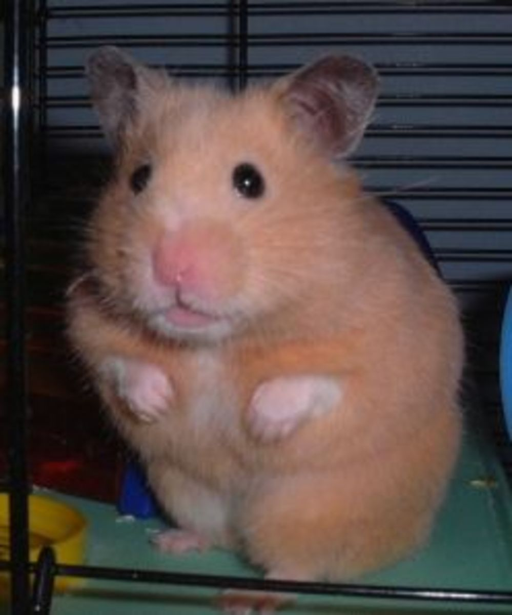 Syrian hamsters (the big hamsters) are one of the most common beginner pets. They all descend from one mother and her pups which came into captivity in the 1920s. They may or may not still exist in the wild.