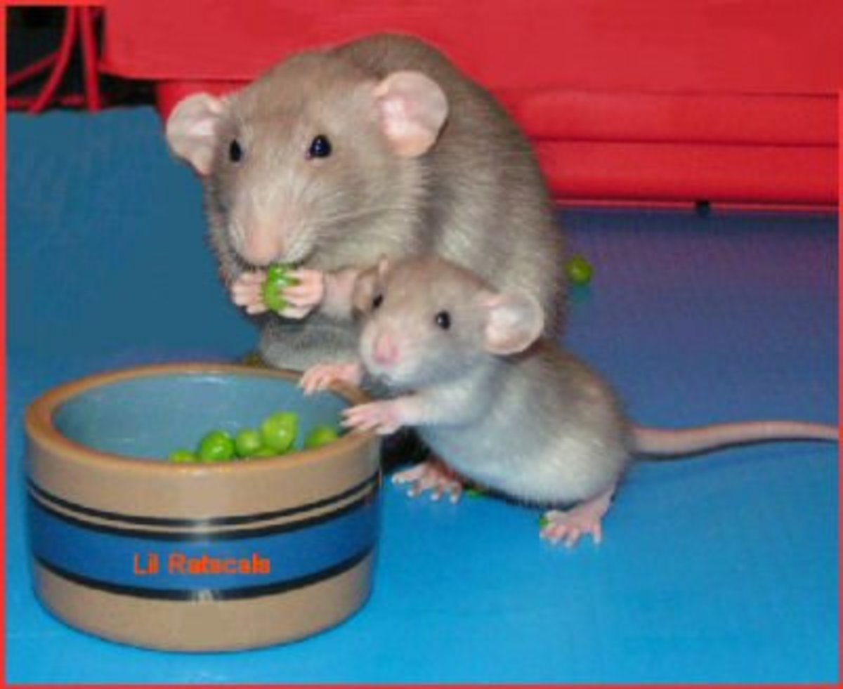 Dumbo rats have large round ears on the side of the head - a mutation that makes them look more like mice. It is a popular variety amongst the fancy rat pet population.
