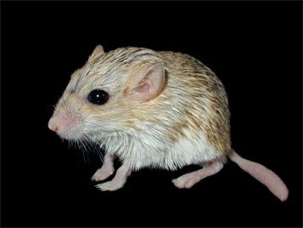 Duprasi are still a somewhat unusual rodent pet in the US. They're soft, cute, and often sociable but their tails can come off with rough handling.