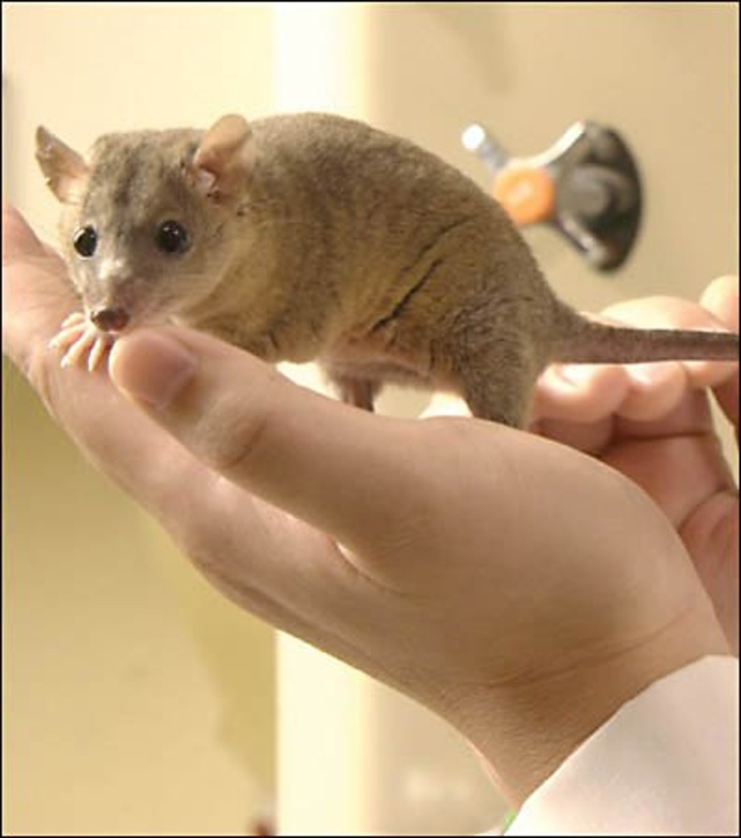 Pygmy possums are marsupials - despite looking mouse-like they carry their babies at first in a pouch and then on their backs. They can make docile pets.