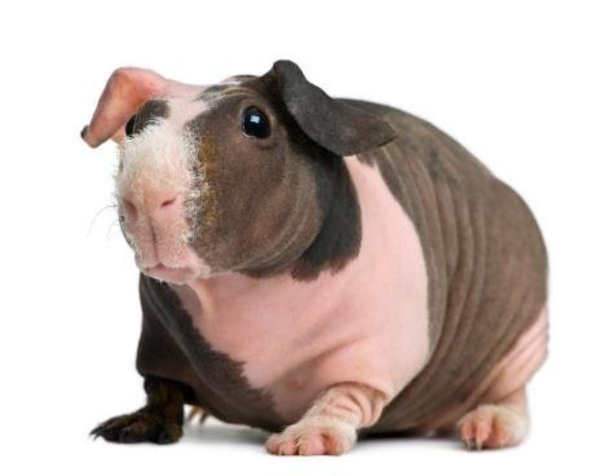 Guinea pigs come in different fur types - including two furless types. This is a Baldwin pig with a fuzzy nose. Completely hairless pigs are called Skinny Pigs.