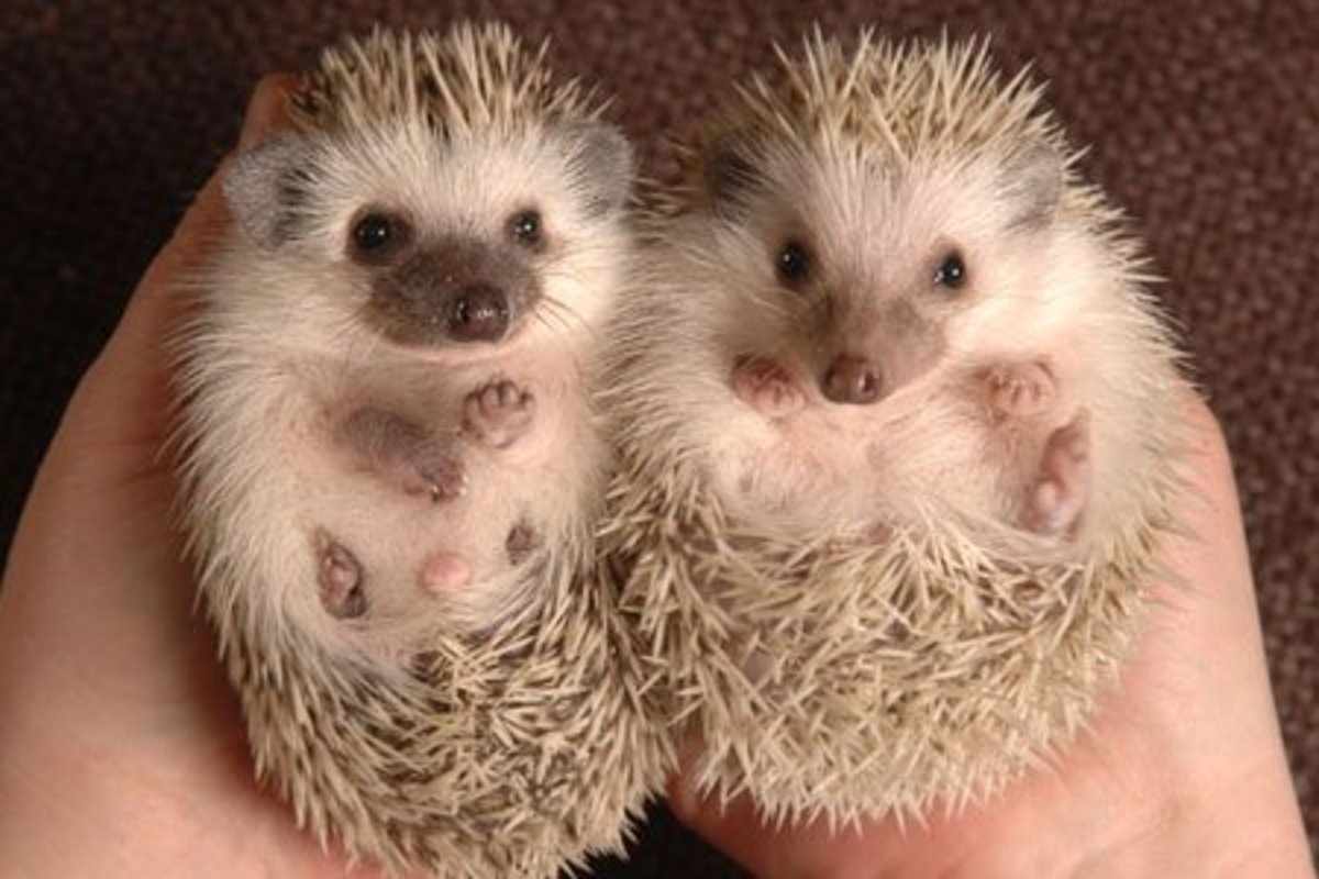 Hedgehogs are very cute but they require a lot of handling or they get mean very quickly.