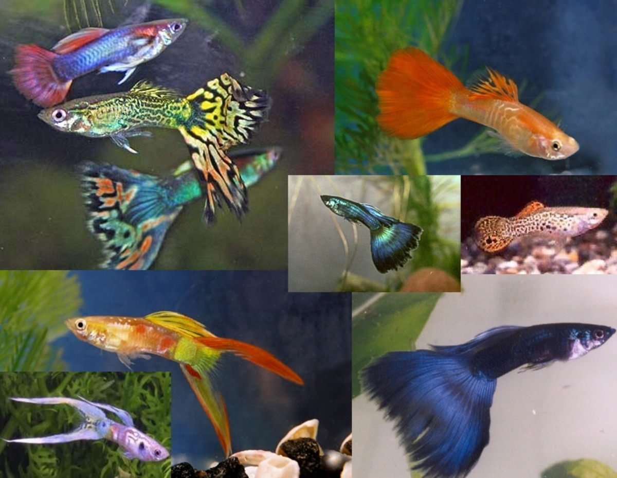 Guppies are a popular freshwater fish that come in hundreds of colors and even can be seen with different tail shapes.