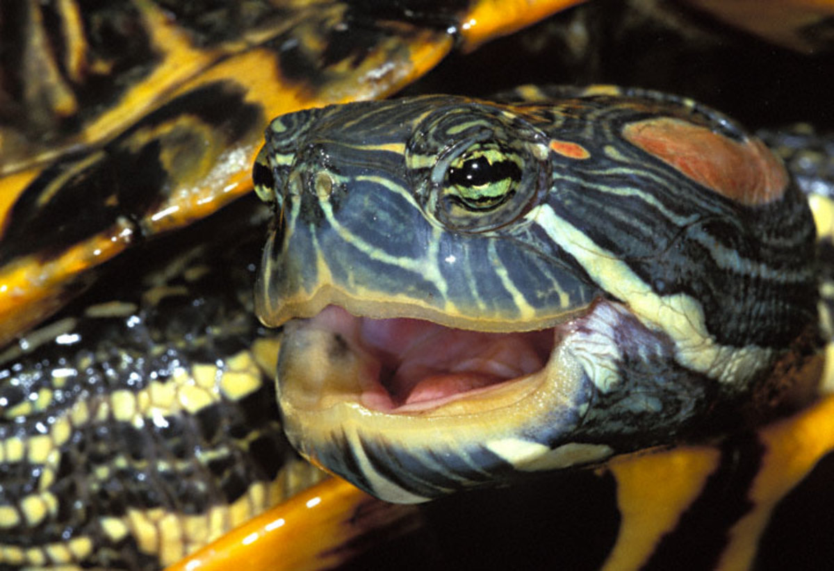 Turtles and tortoises can make fine pets but please buy only captive bred specimens! Many species are going extinct in the wild due to poaching and over harvesting for the pet trade.
