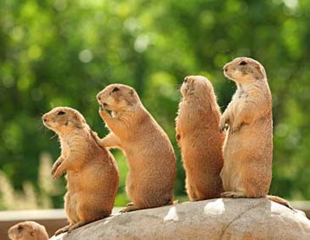 Most prairie dogs sold in the pet market are harvested as babies from wild populations - perhaps this is why so many defy domestication.