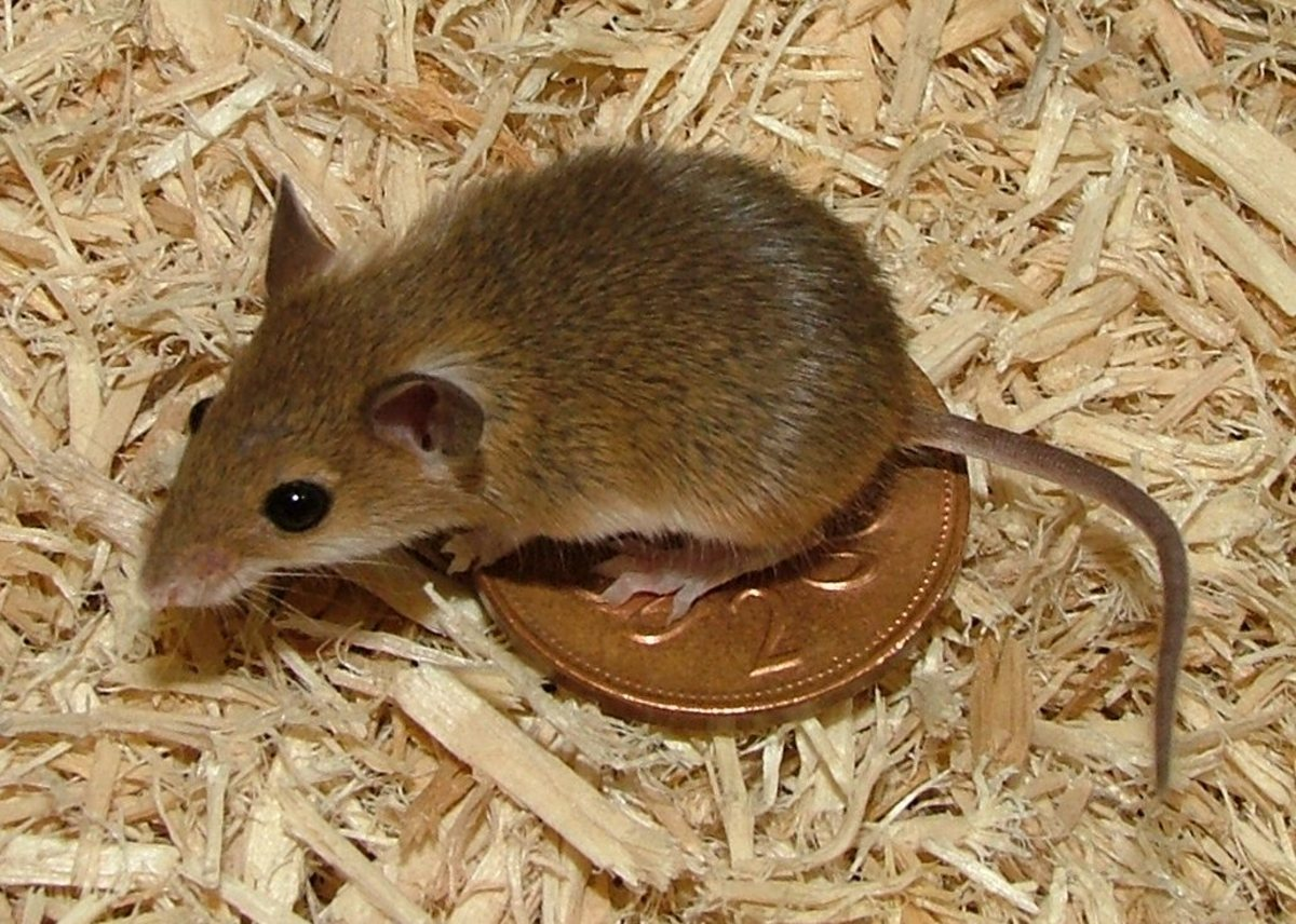 "Pygmy mice make great ""furry fish"" - that is a pet you can put in an aquarium and watch but not really handle. They are very small and very quick."