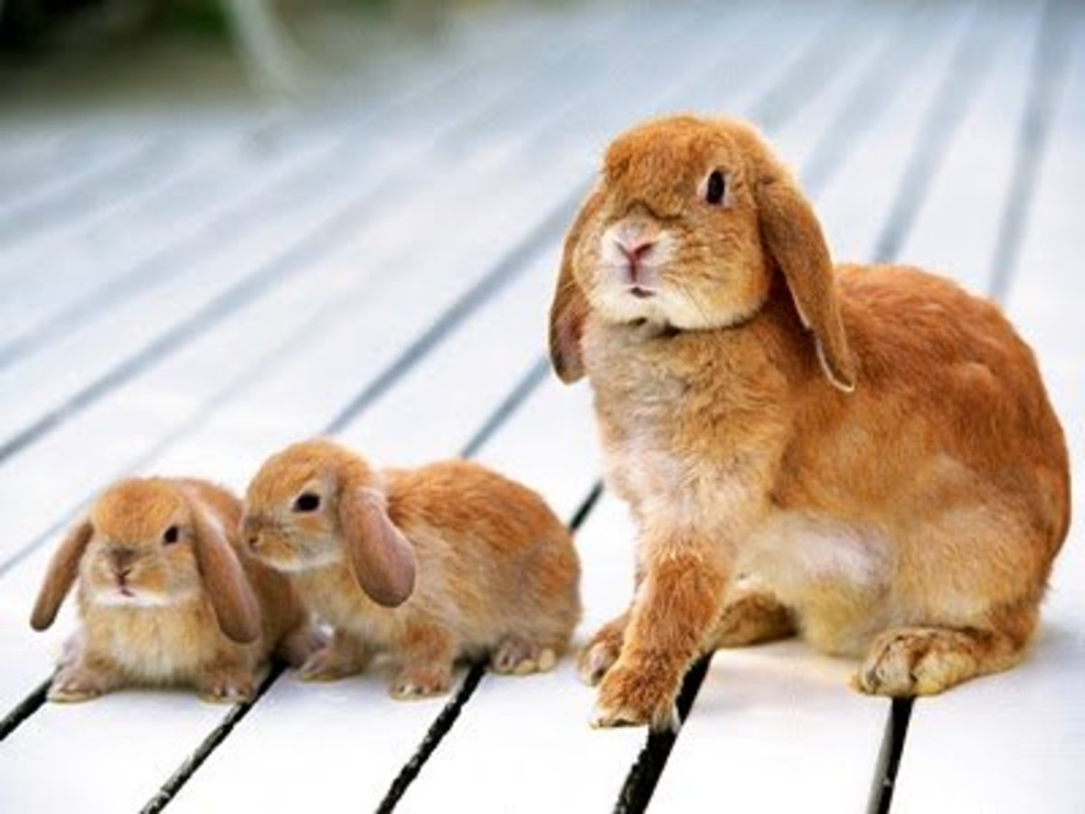 Bunnies have been bred for fur, for meat, for fiber, and now for pets. They are highly domesticated, often very docile, and can make nice pets.