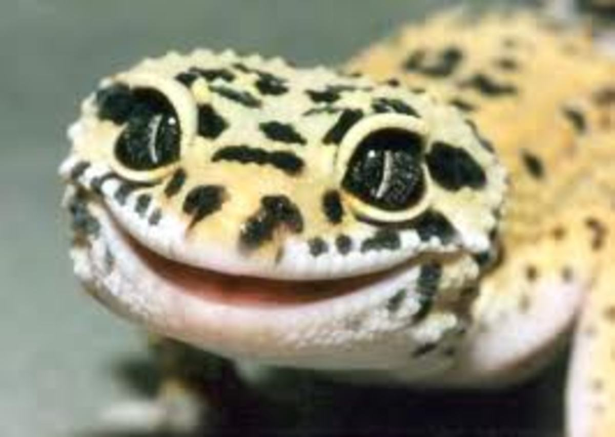 Geckoes may be one of the most popular lizards kept as pets. They have easy maintenance and can live up to twenty years.