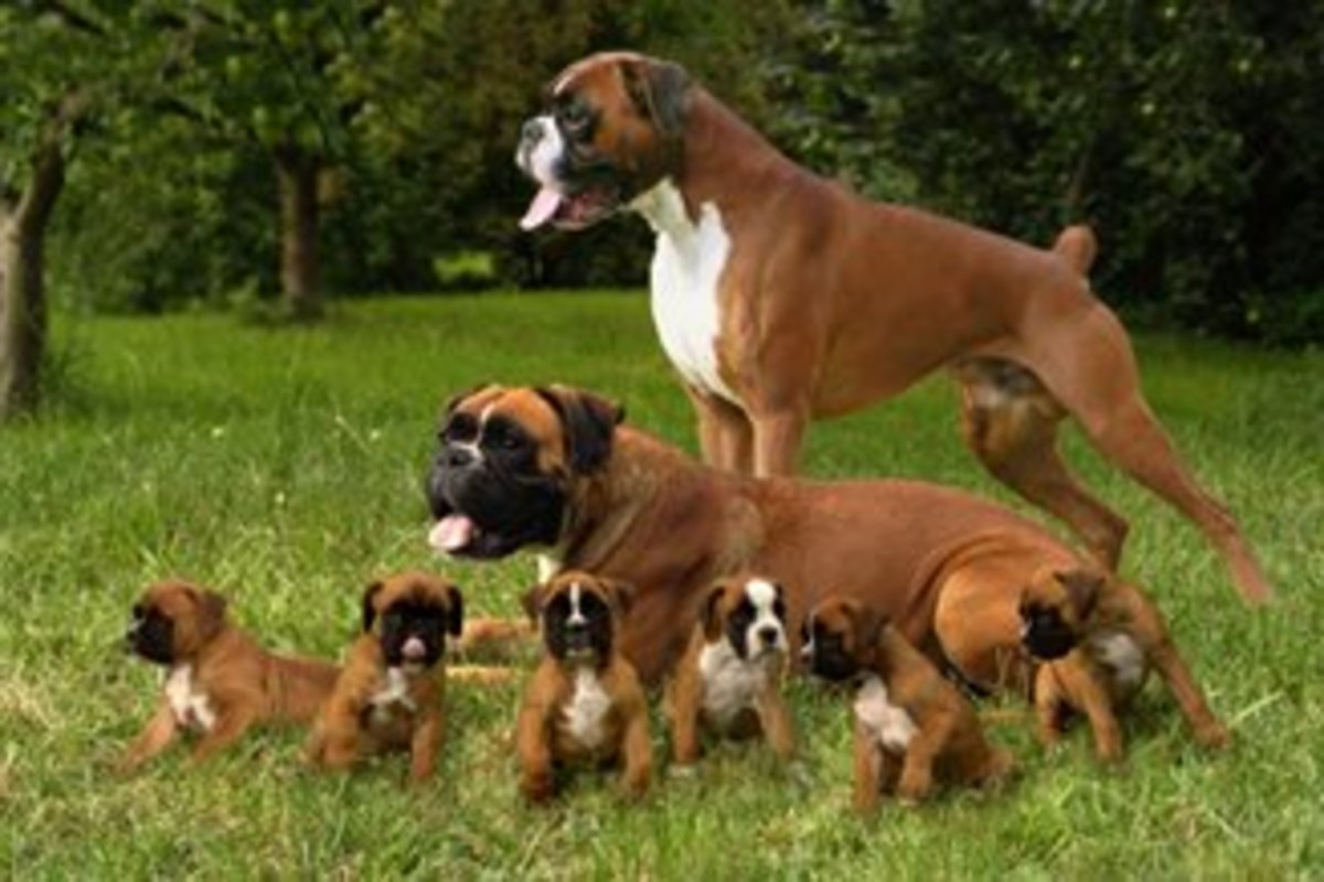 Mommy boxer and puppies