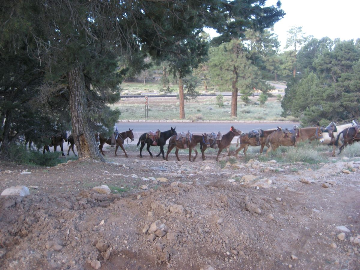 Saddle mules at the Grand Canyon rim - note the breeching (but no breast collar...we were only going downhill that day).