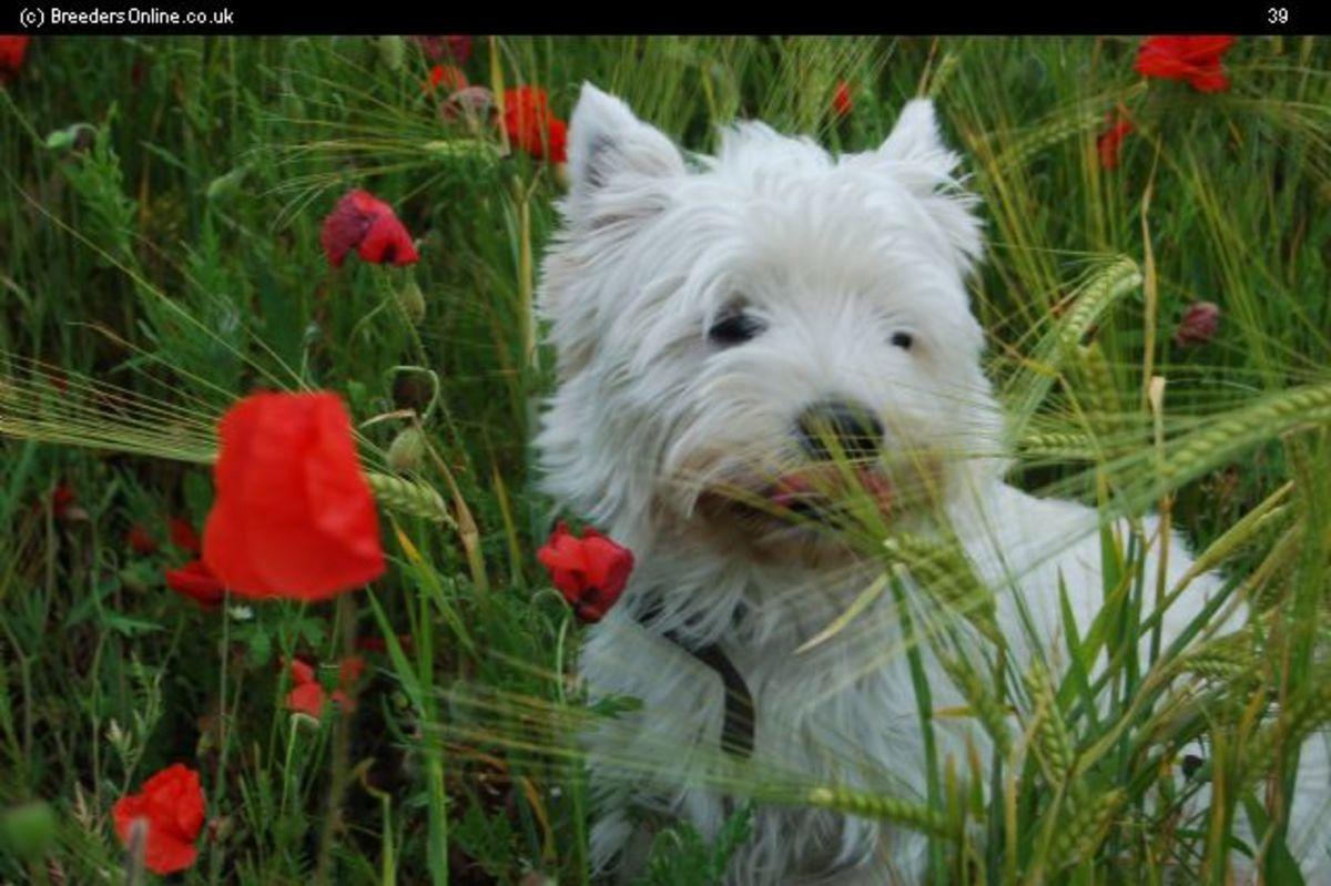 A Gorgeous Terrier