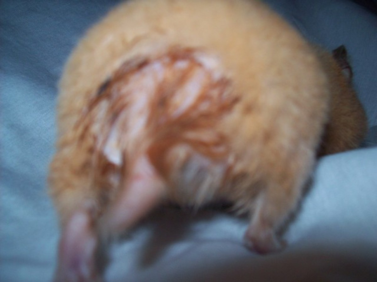 Sick Hamster - Signs and Treatment of Wet-tail