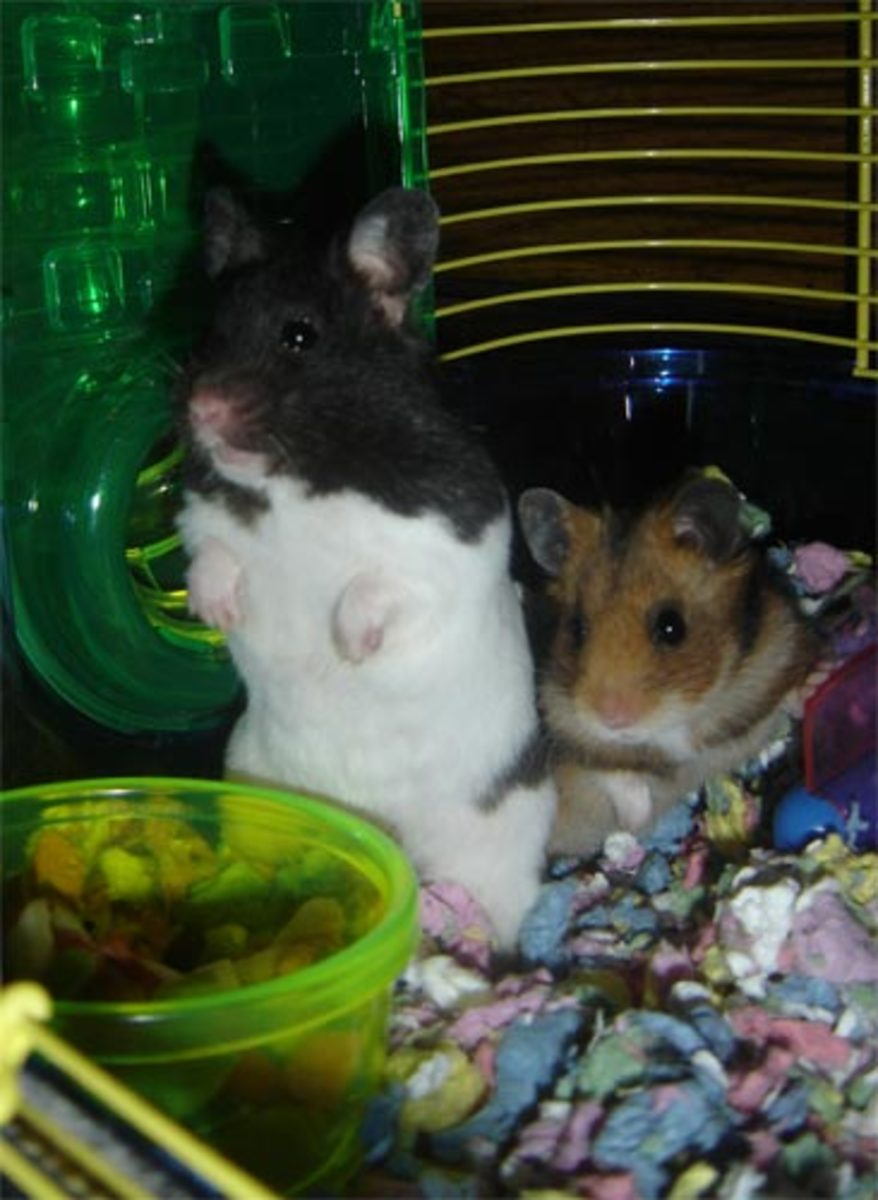 Pebbles and Rocky (Generally, two Syrian hamsters should not be housed together.)