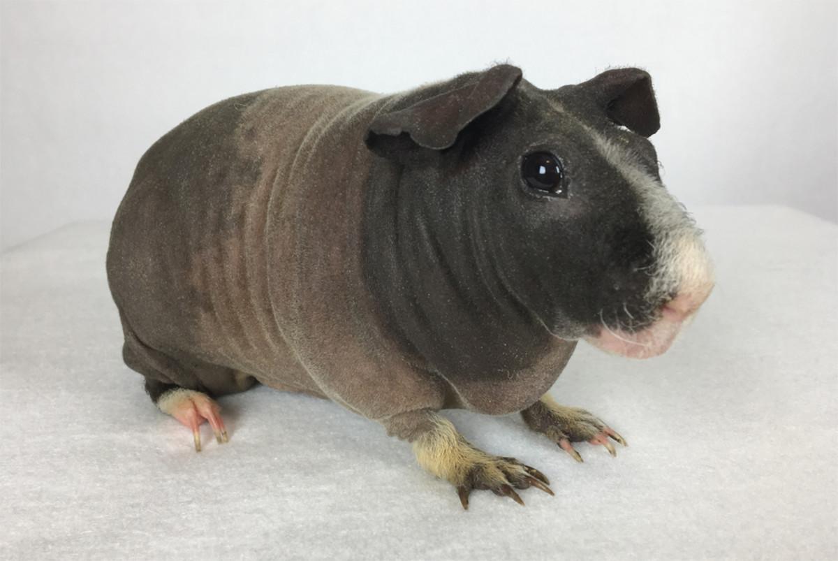 An adult skinny pig.