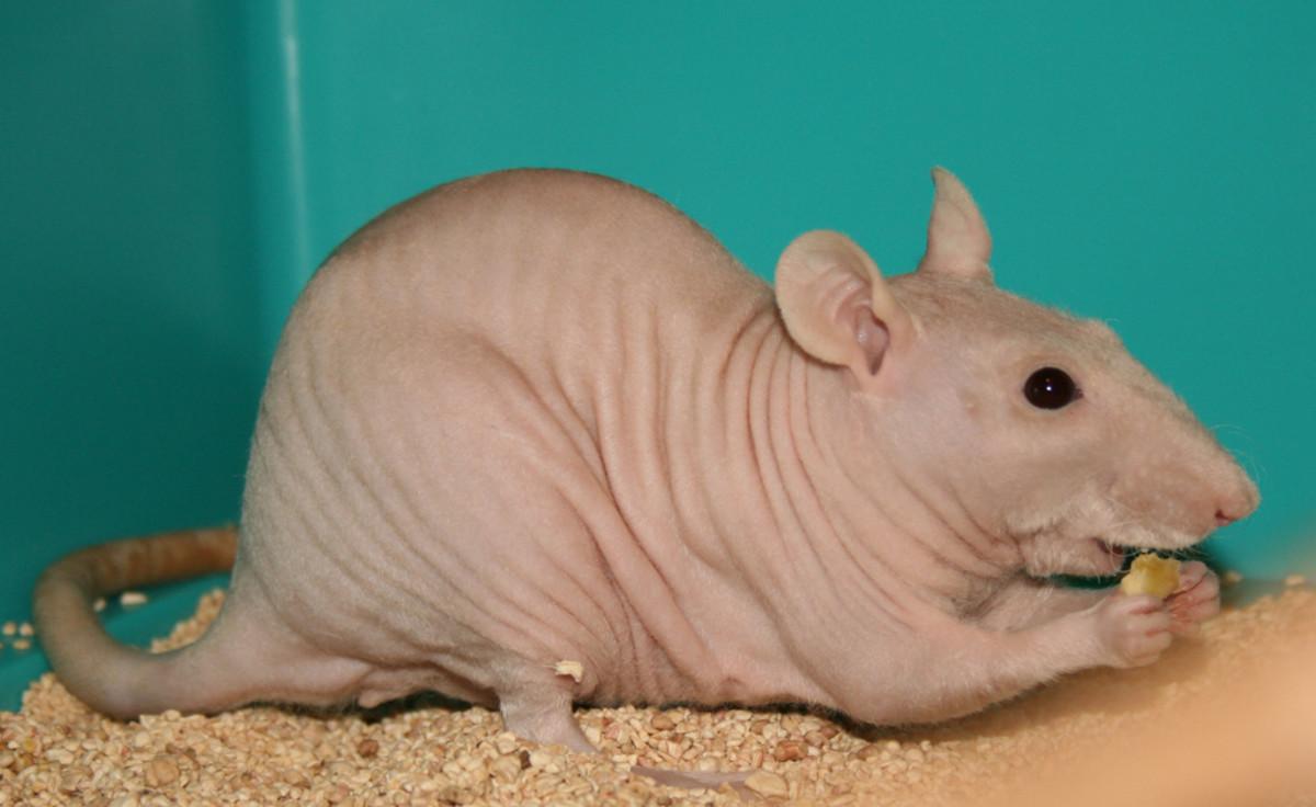 Izzie the sphynx rat