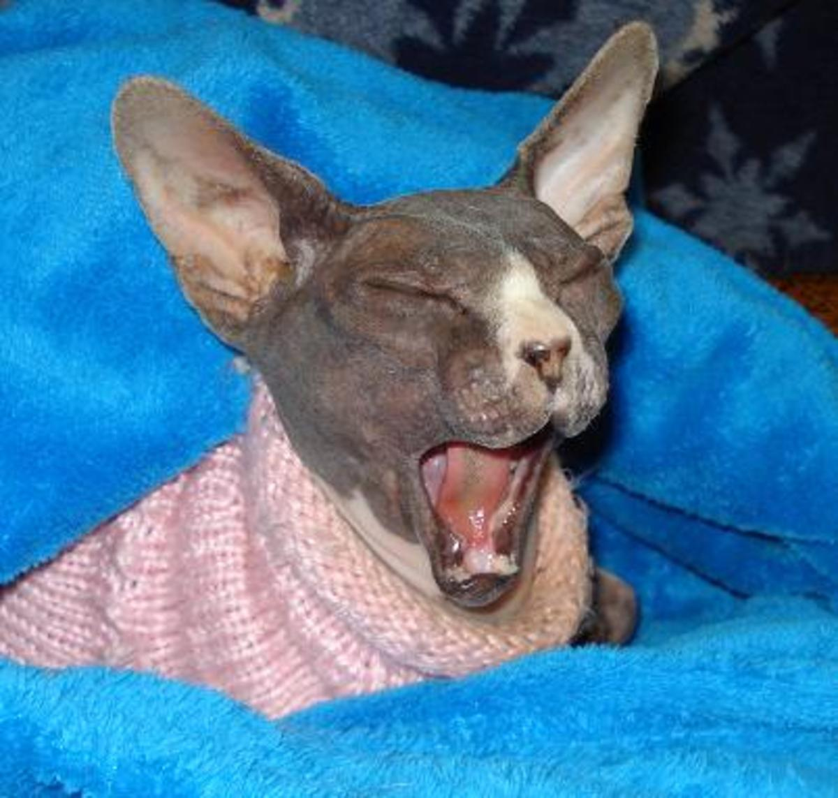 Sphynx cat (Sloopy) singing for a more punderful name