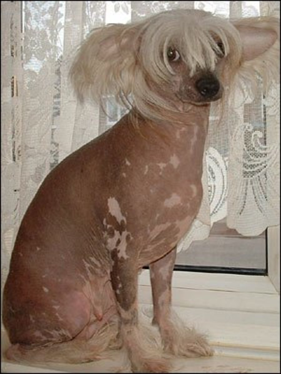 A Chinese crested dog.