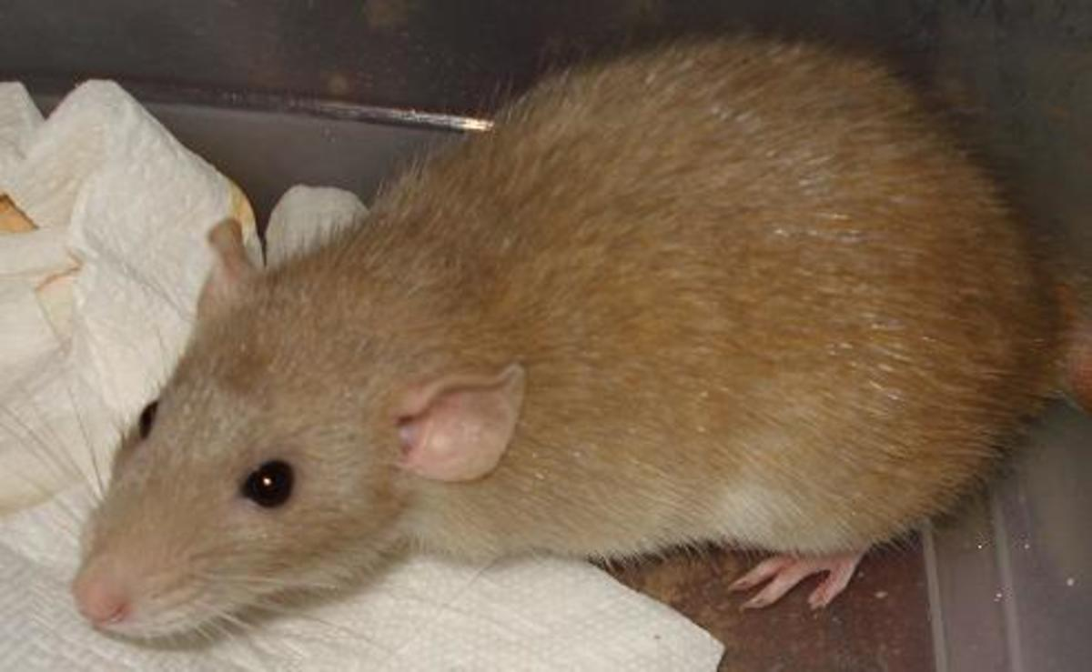 Honey - my mystery colored rat. She's at least a triple rescessive. The photo isn't that great.