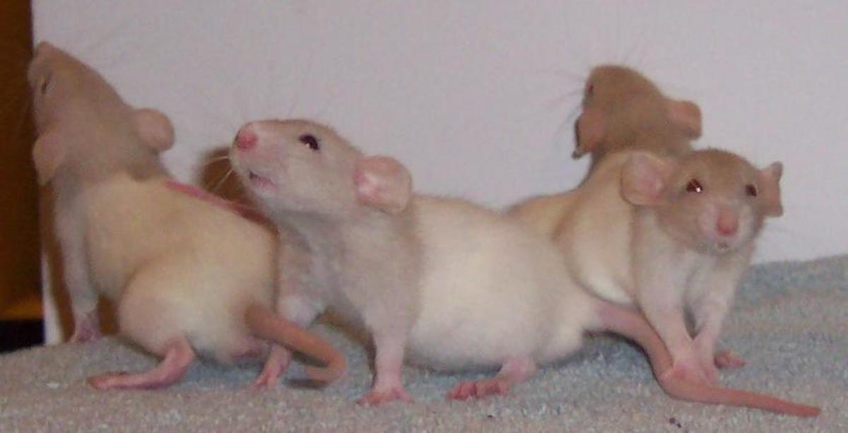 Beige hooded dumbo babies (one of the ones pictured is Krishna's father Tavi)