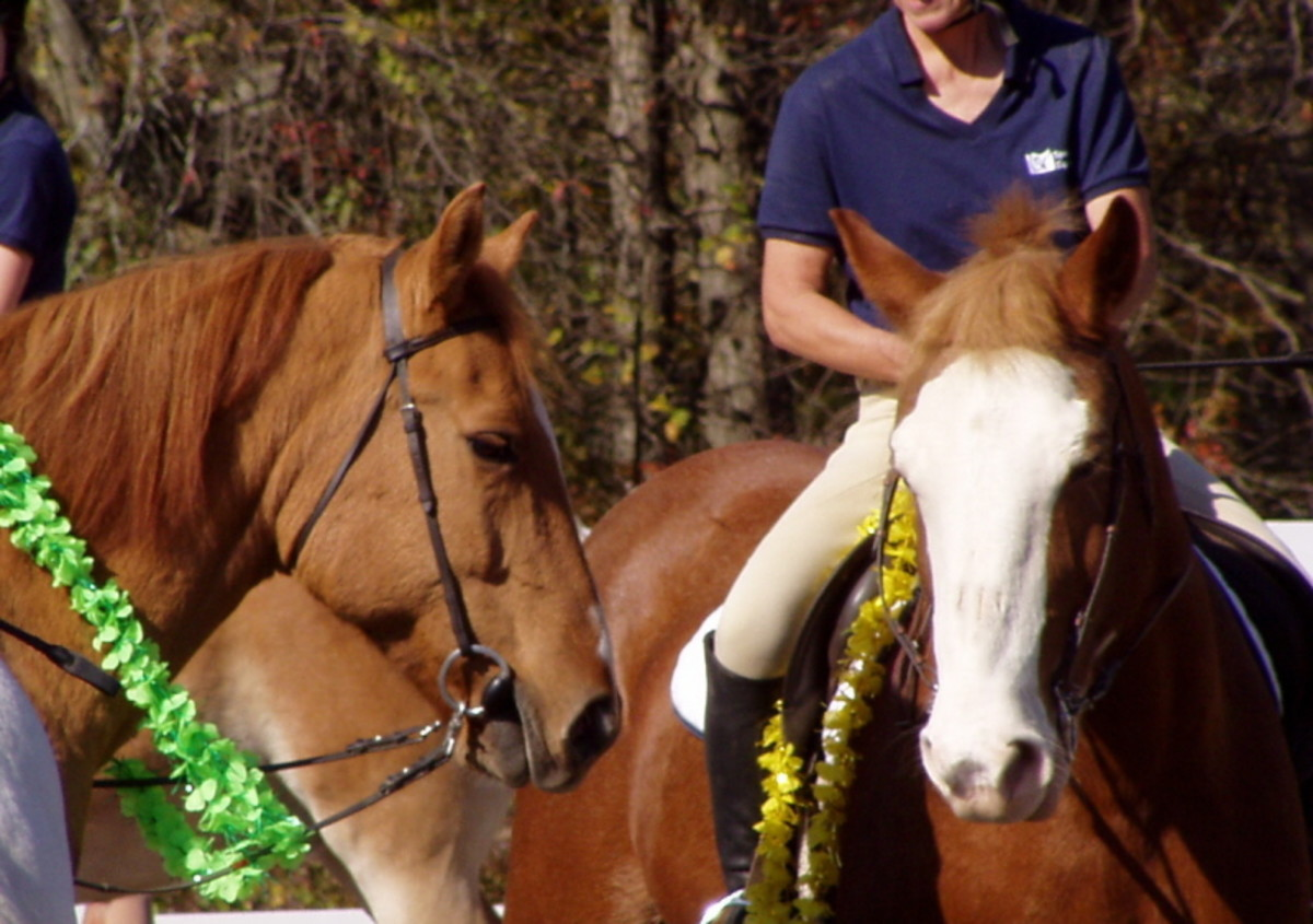 Therapy horses should be calm and content, even while getting lei-ed.