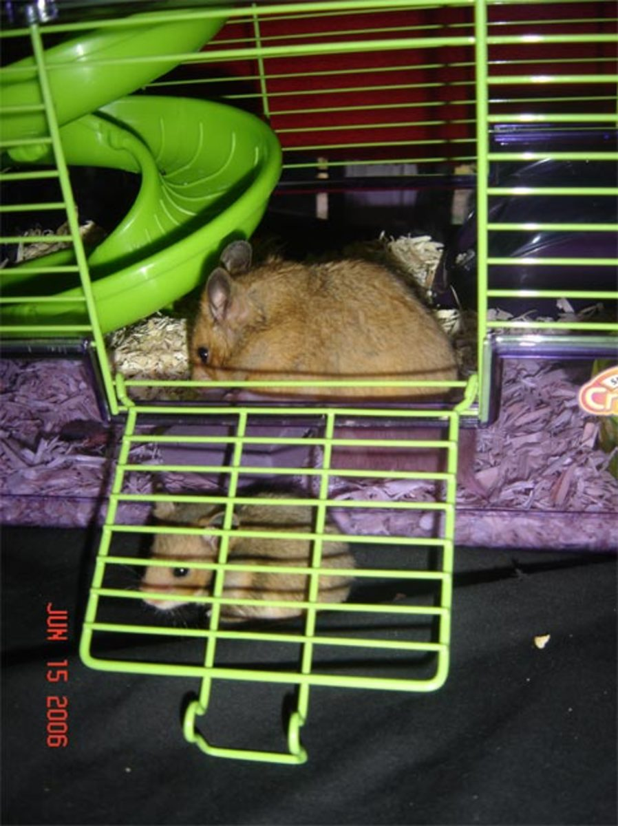 It's not the best idea to house teddy bear (Syrian) hamsters together.