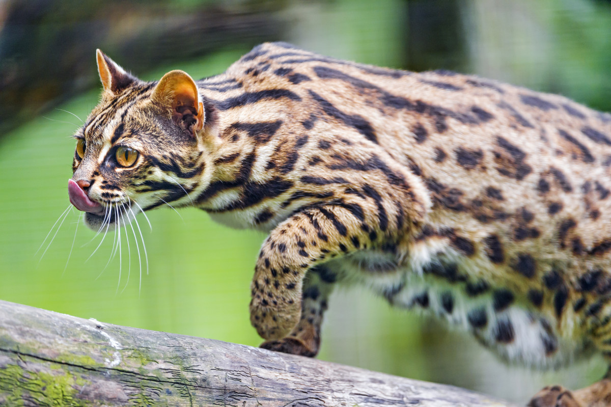 "The Asian leopard cat or ""Prionailurus bengalensis"" of the continental South, Southeast, and East Asia, is an ancestor of the breed."