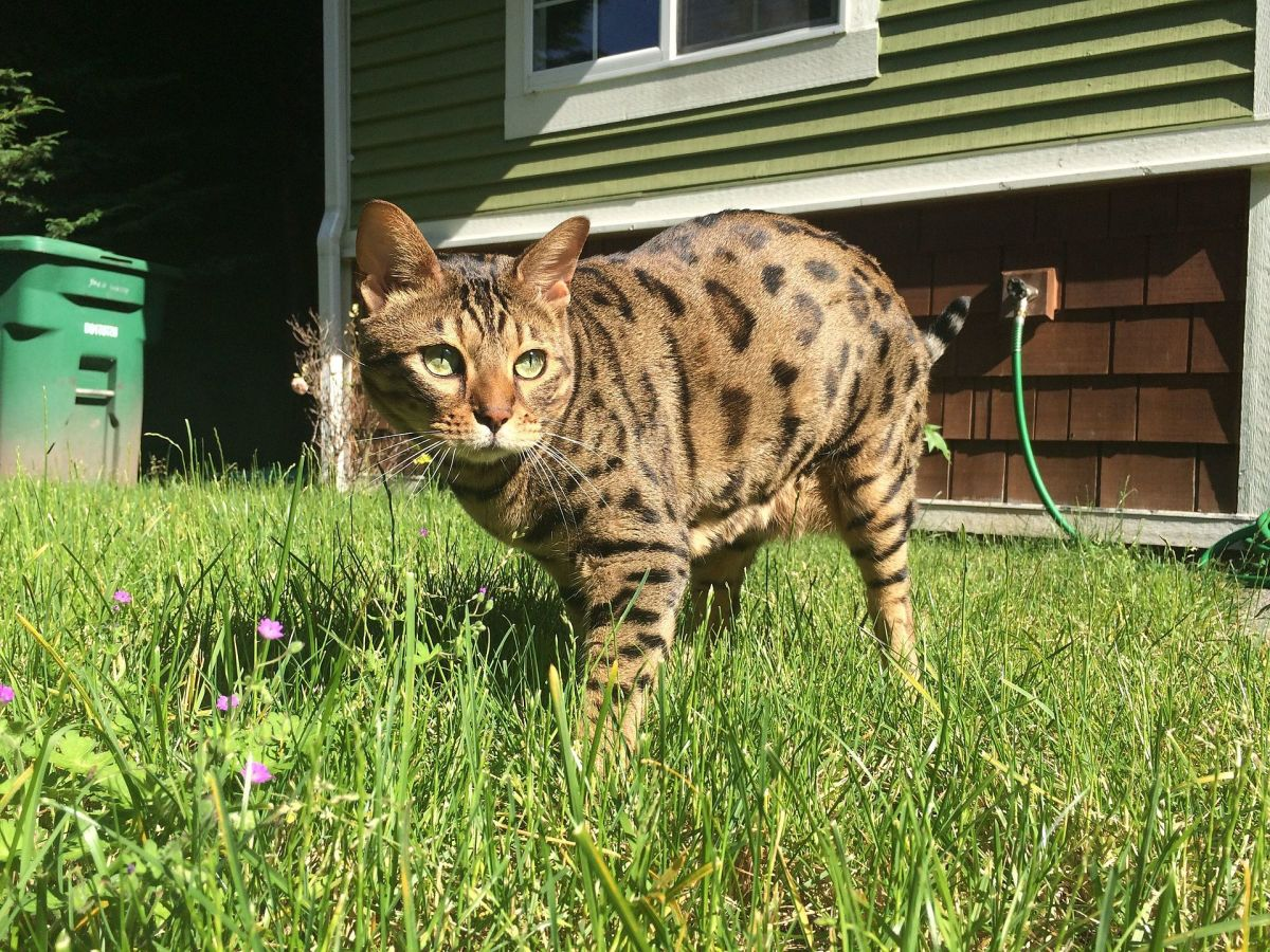 "Although cats act ""wild,"" it's a good idea to keep them indoors at all times."