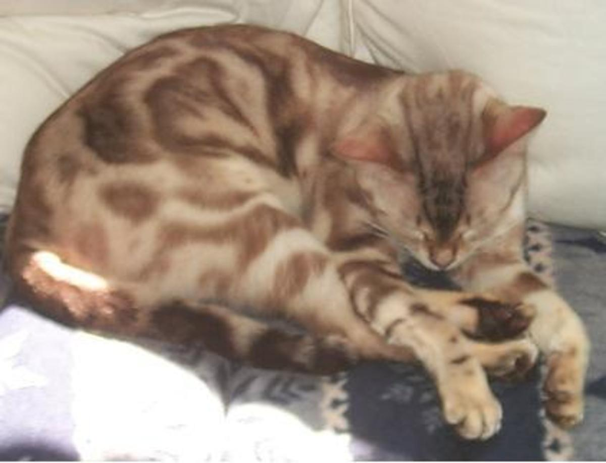 Adult female marbled snow Bengal (Sophra).