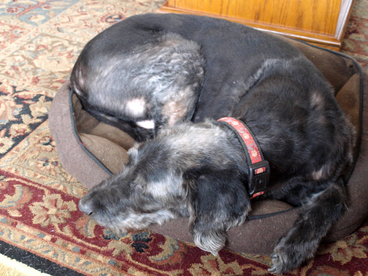 Making Your Senior Dog Comfortable: Senior Labradoodle