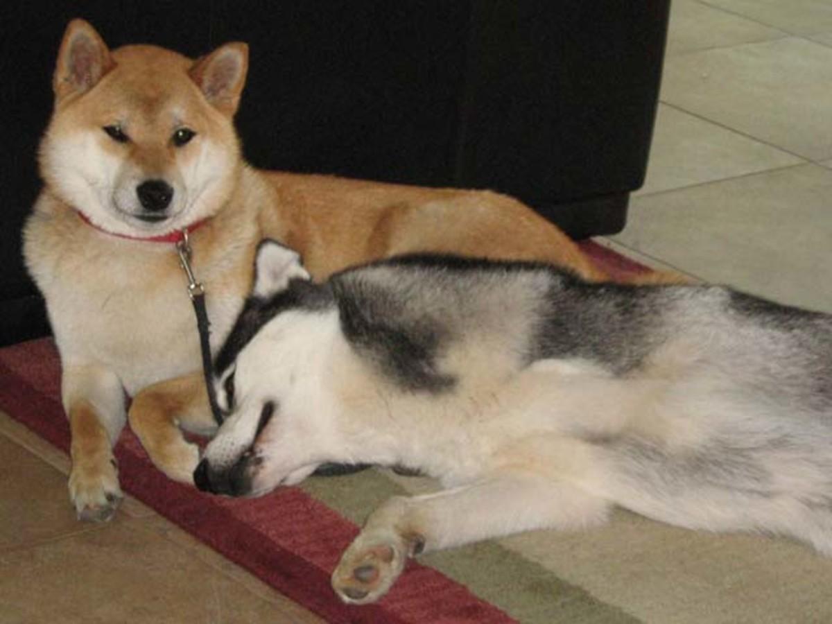 Shiba Inu Sephy and Siberian Husky Shania are best of friends.