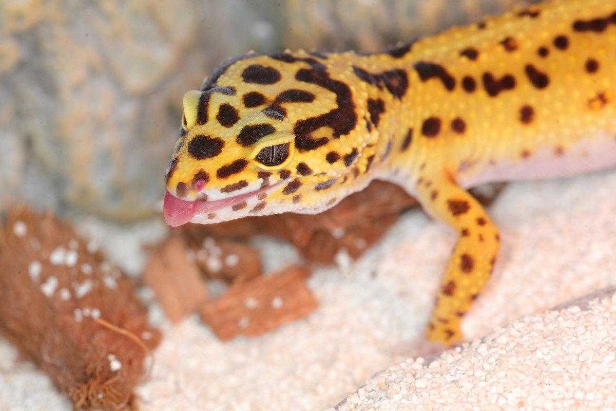 Play-sand and calcium-based sand is not recommended for young geckos and is best avoided entirely.
