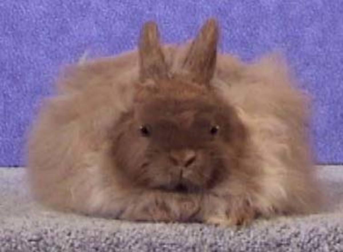 jersey bunny