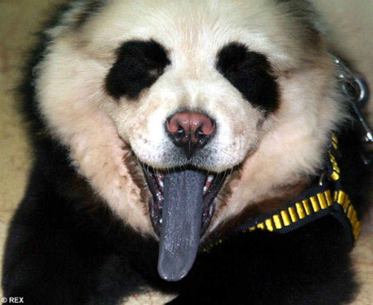 This panda dog has a black tongue.