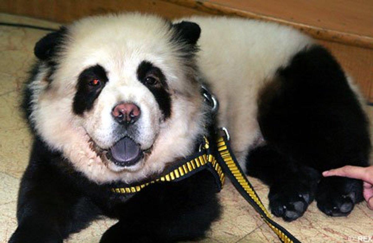 A relaxing panda.