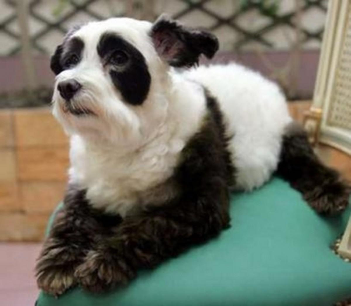 Meet Columbo, a maltese-poodle mix