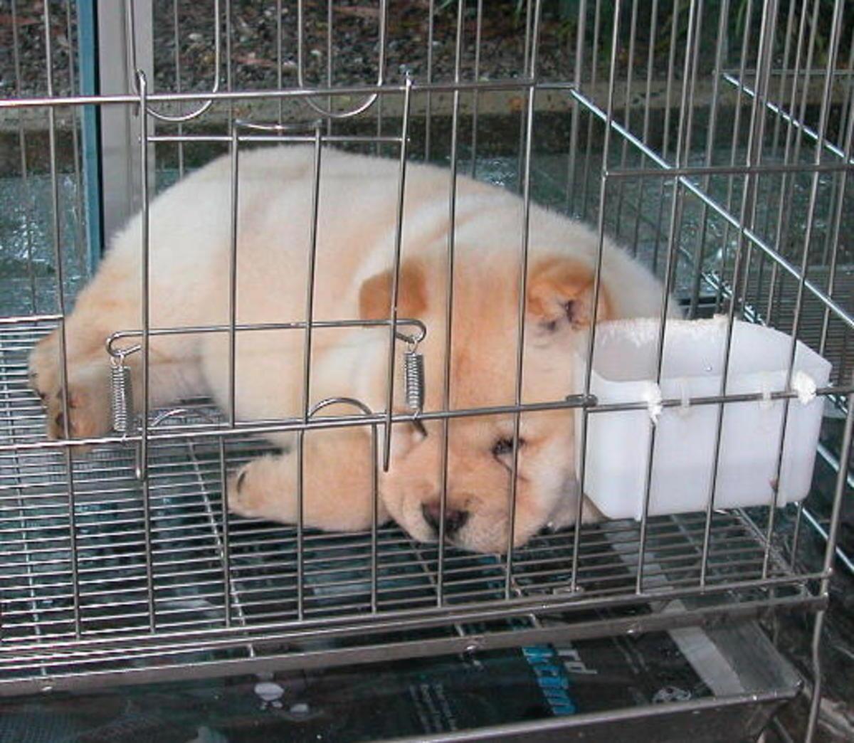 An unpainted panda-like puppy. Awwwwhhhh!