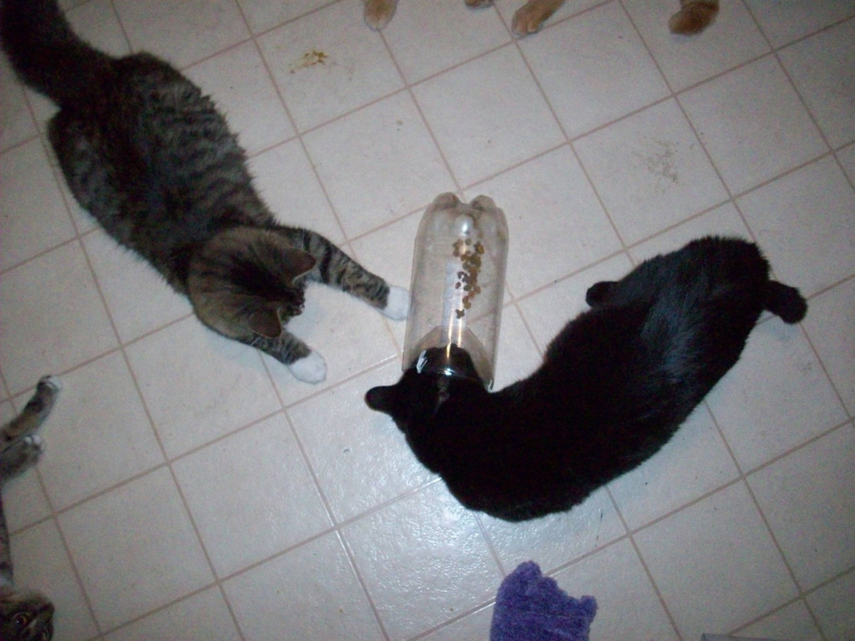 Cats playing with a crawfish trap.