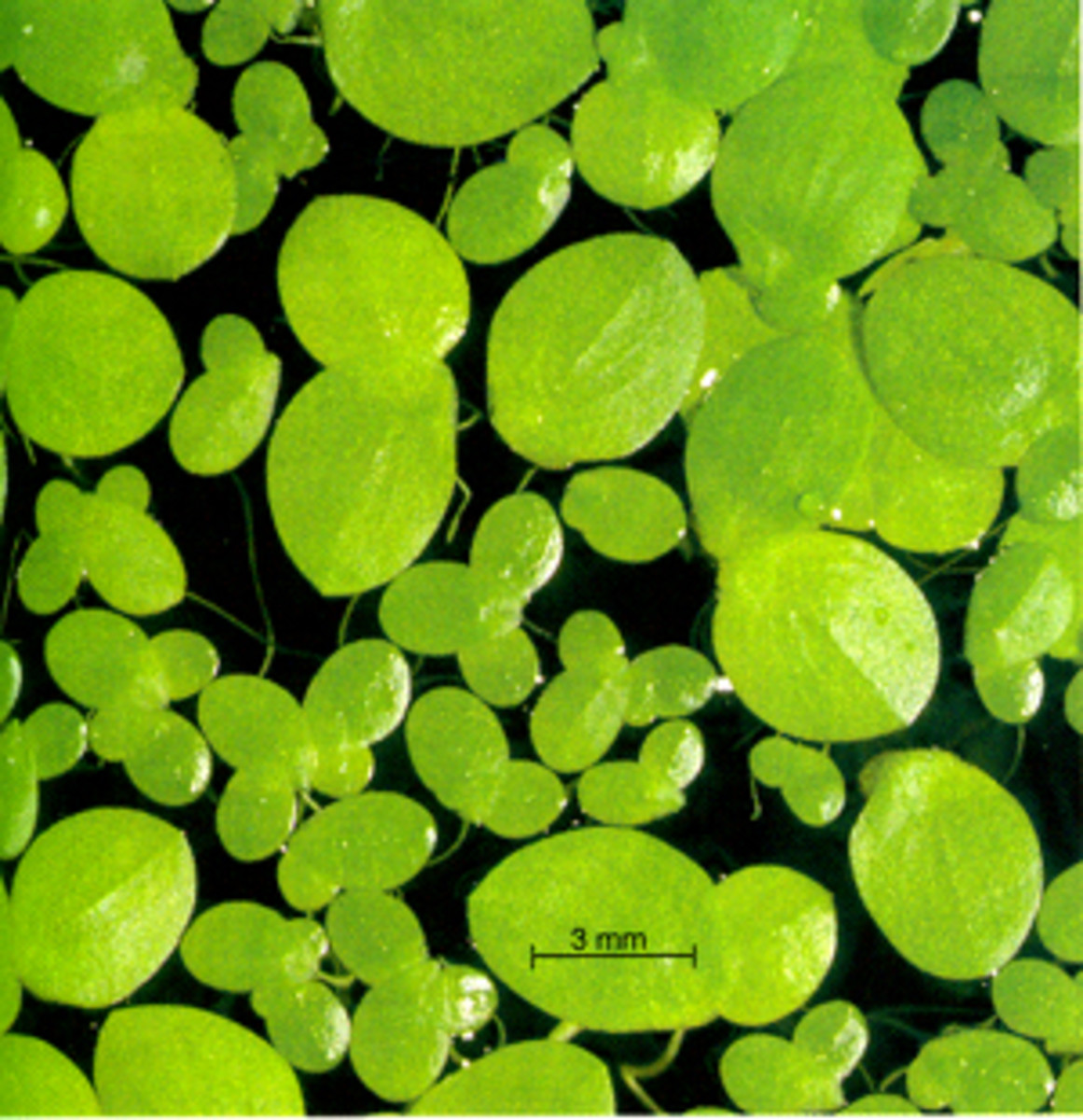 Healthy natural feed for a ranchu: duckweed.