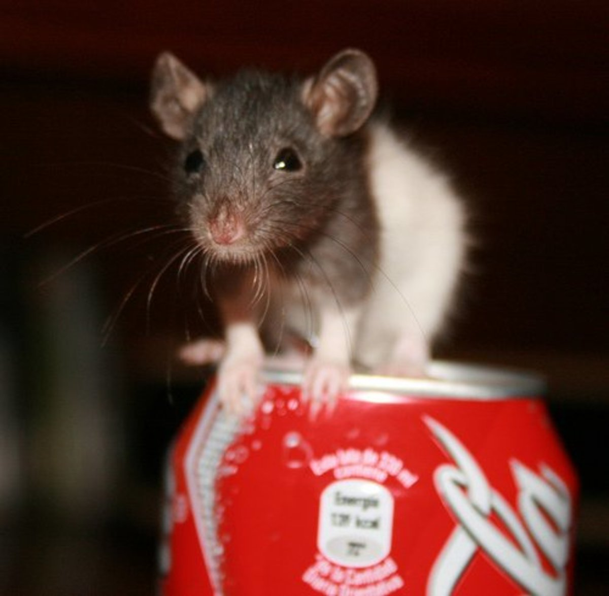 rats-the-worlds-most-unrated-pet