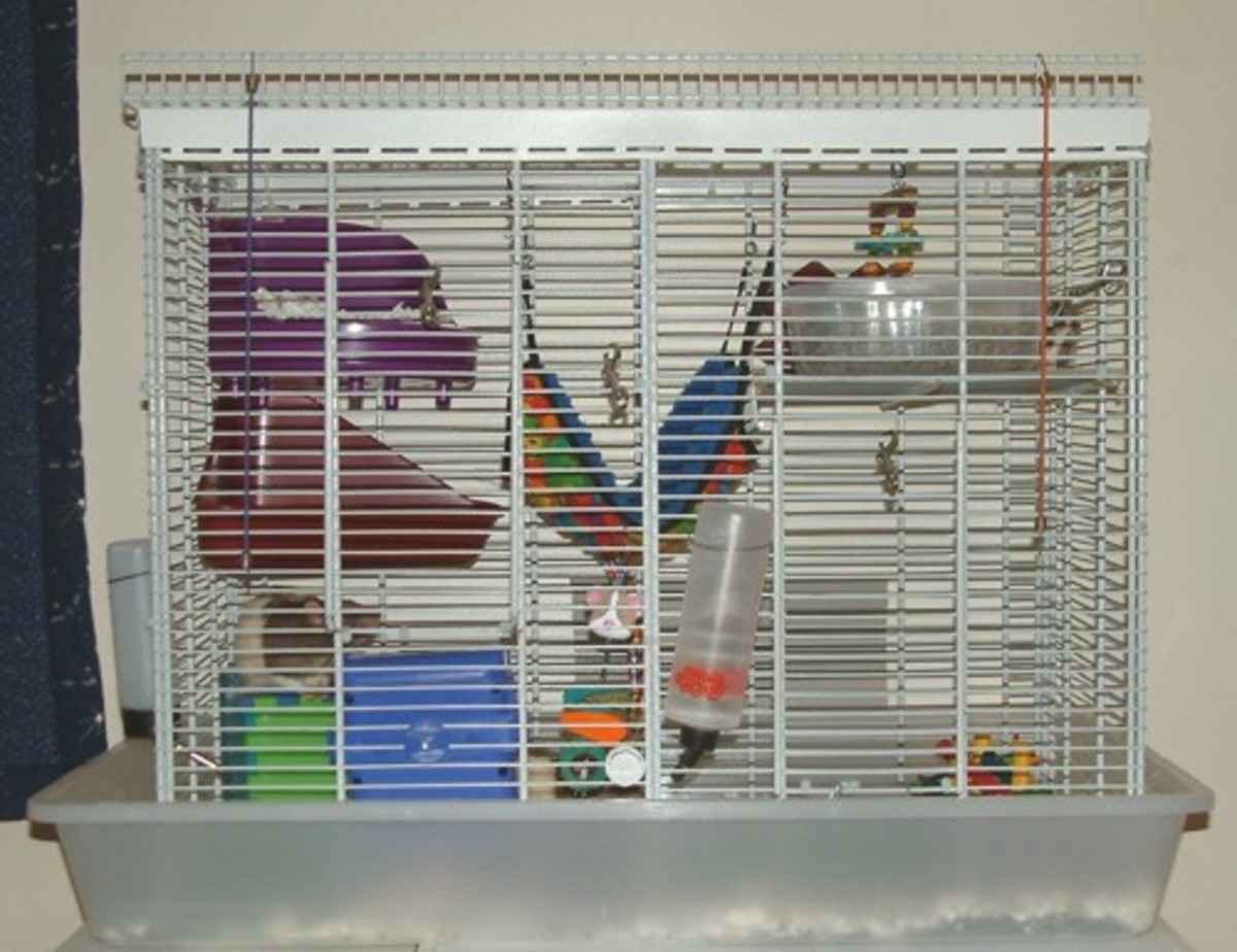 An excellent home for a rat has a lot of things to do and places to climb and hide.