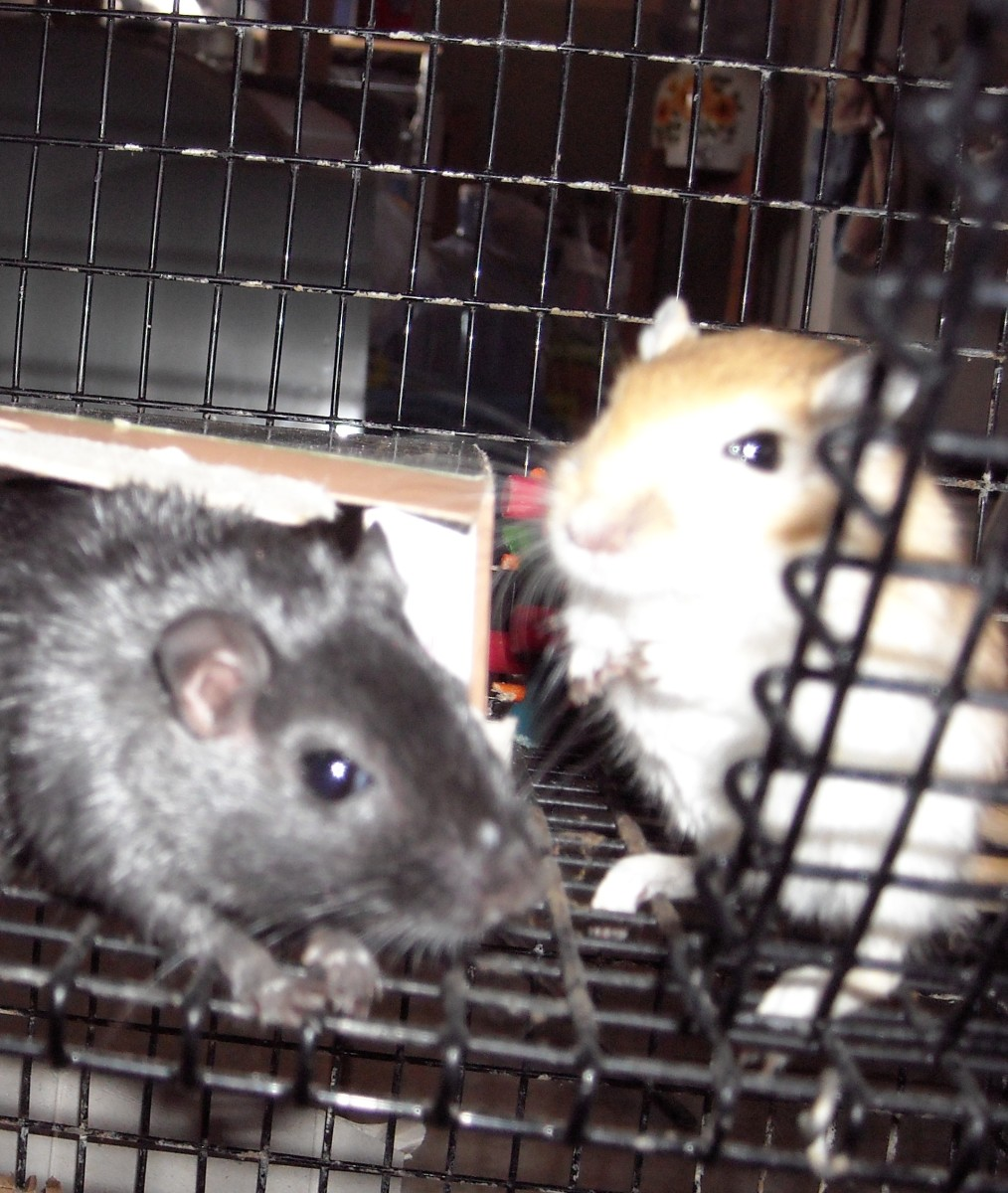 Our gerbils, Honey and Midnight, Honey is shy, but she's a sweetheart. Midnight is feisty but loving.