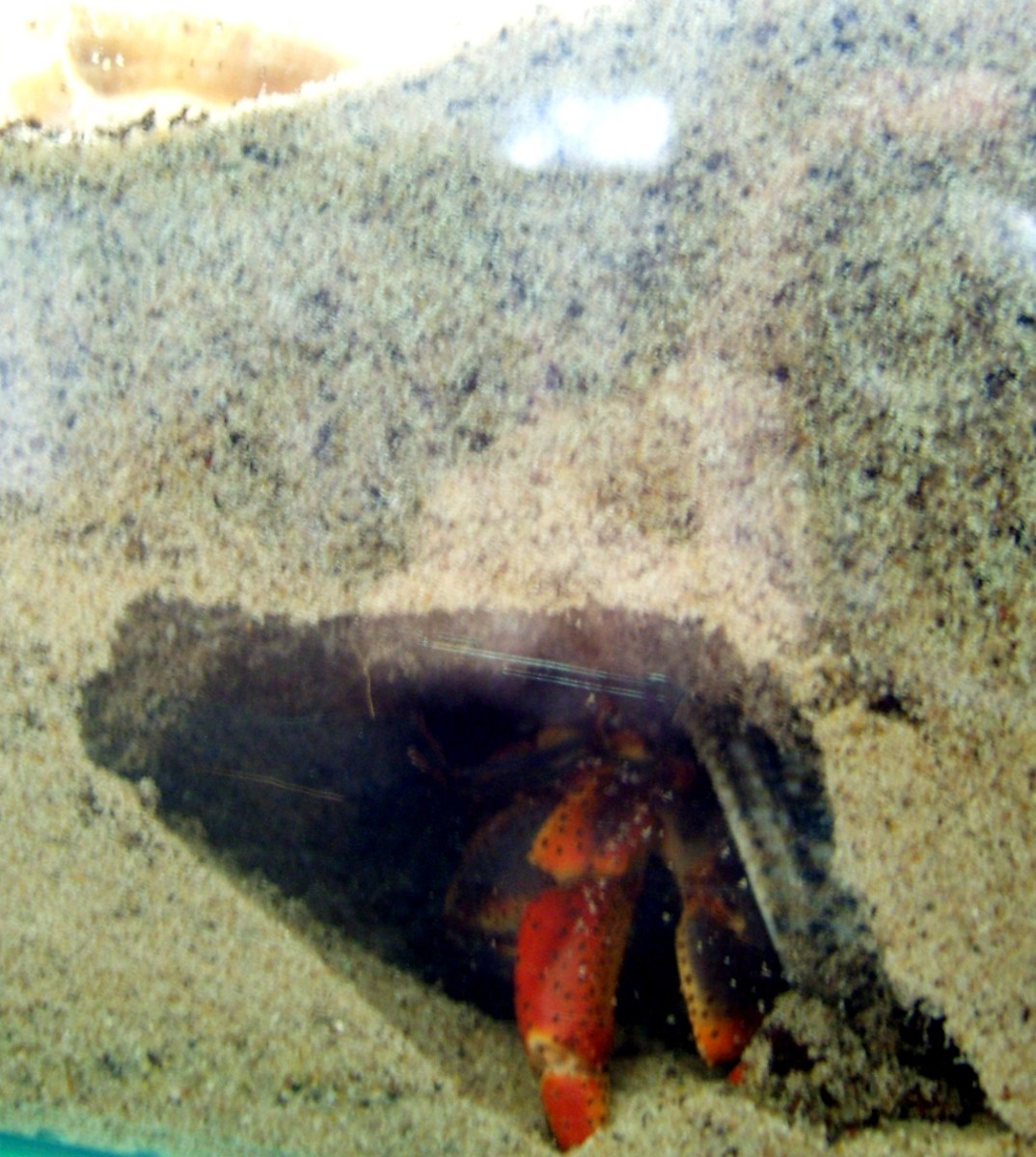 Hermit crabs enjoy digging and must do so to survive. Be sure to provide enough moist sand for digging.