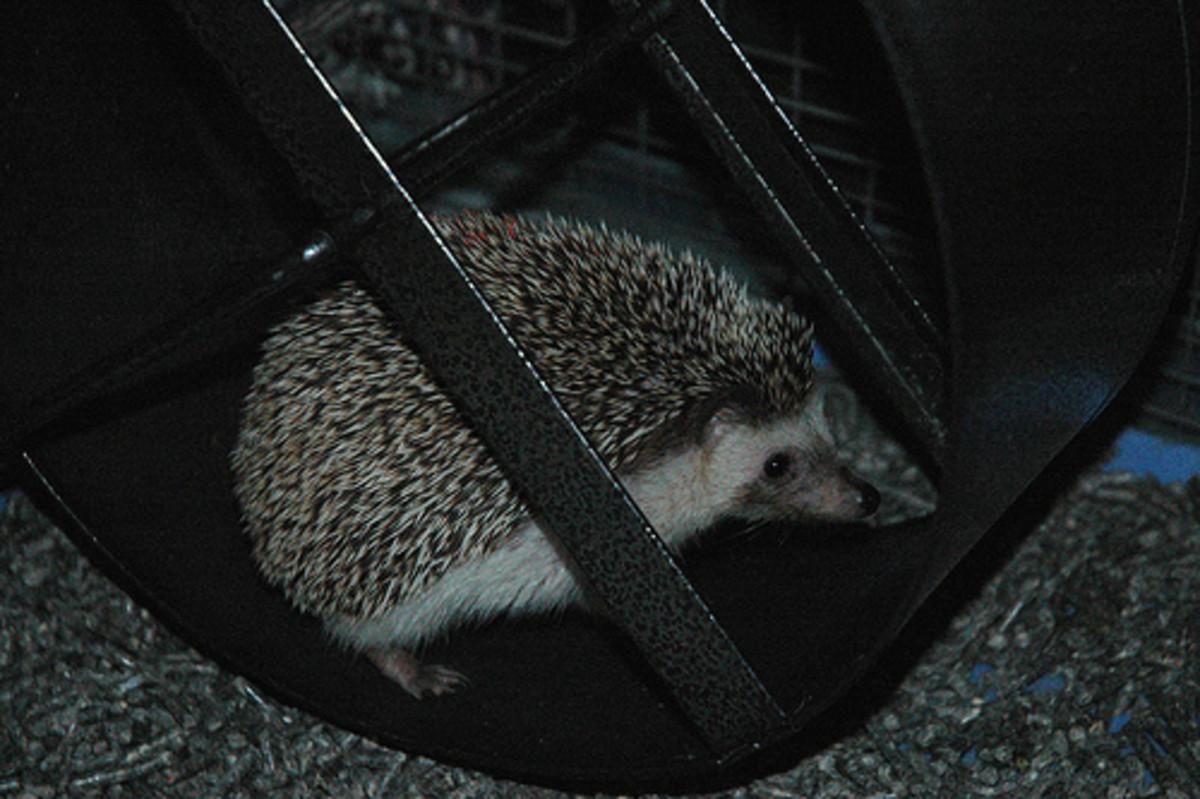 This hedgehog is enjoying their exercise wheel!